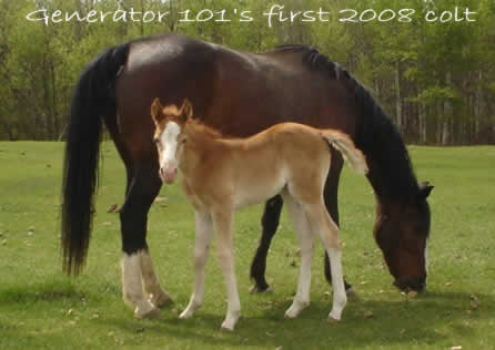 First colt born in 2008, owned by Rob and Denise Barnes