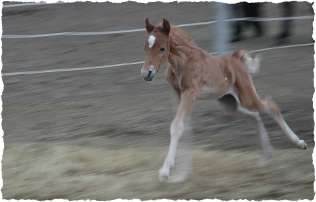 photo of weanling colt at Jus' Fine