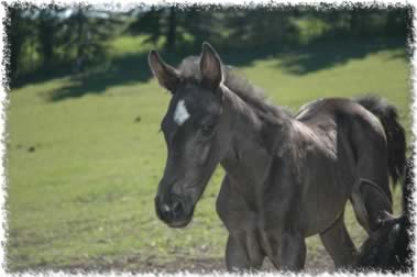 tennessee walking horse weanling 2006
